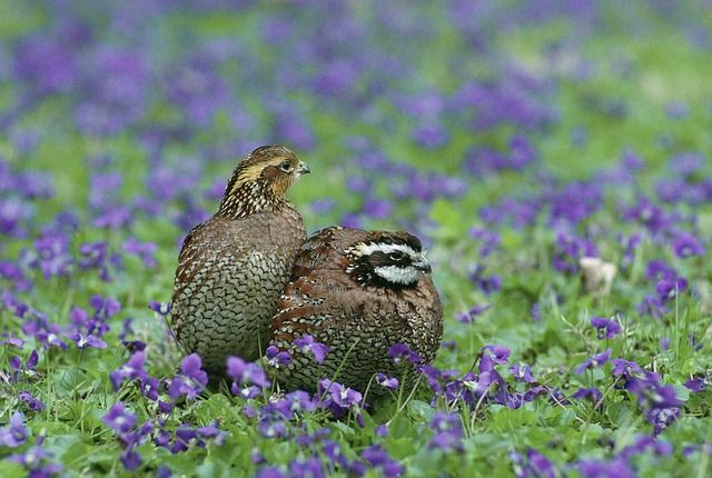Quail on Cleared Land West Texas